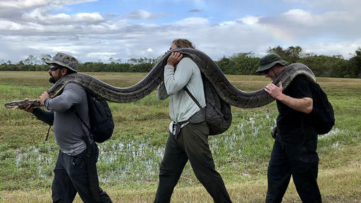 Florida: Python named Elvis is helping stop the spread of Florida's notorious pest